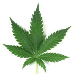 Un cannabis qui soigne sans faire planer