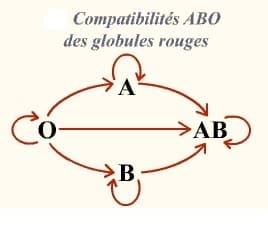 compatibilités ABO des globules rouges