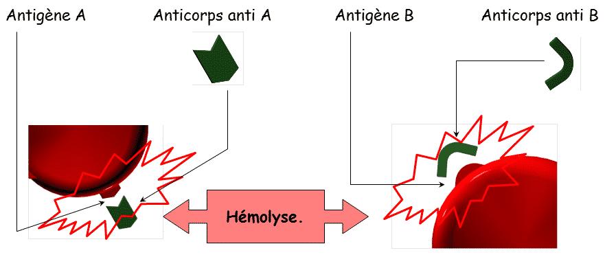 hémolyse des GR