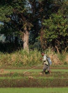 Dans les zones rurales, les paysans utilisent encore notamment dans leurs rizières, le glyphosate sans aucune protection